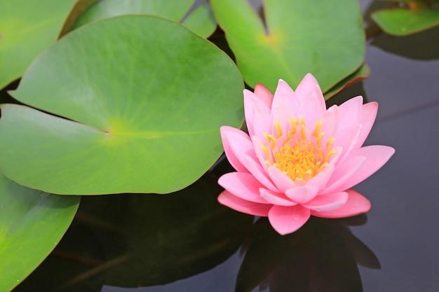 池の美しいピンクの蓮の花、クローズアップの睡蓮と自然の中で葉。