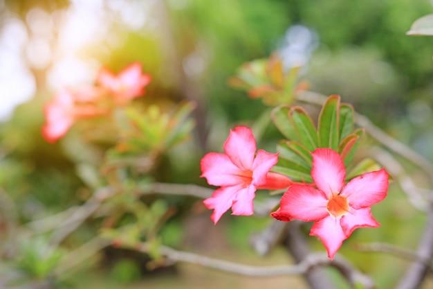 夏の庭のピンク色のツツジの花、太陽光線。
