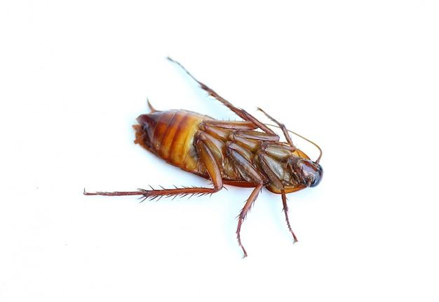 白い背景の上の死んだゴキブリ。