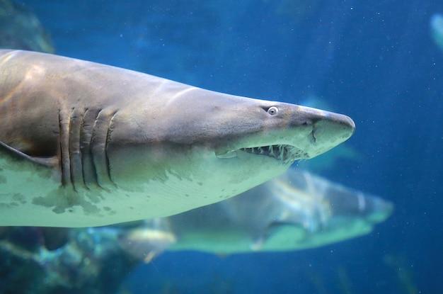 白いサメ水中
