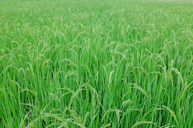 田んぼの若い緑米