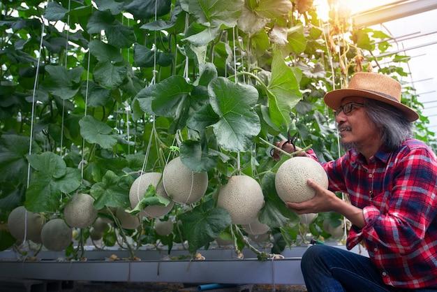 ひもメロンネットで支えられた温室での新鮮なメロン果実のアジアの農家