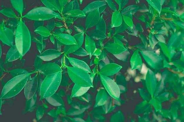 葉緑ブッシュの背景をクローズアップ