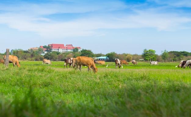 Коровы, пасущиеся на ферме с зеленым полем в хорошую погоду