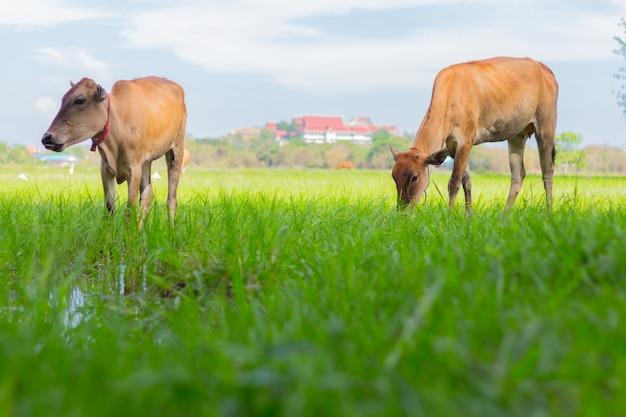 天気の良い日に緑の野原で農場で放牧牛