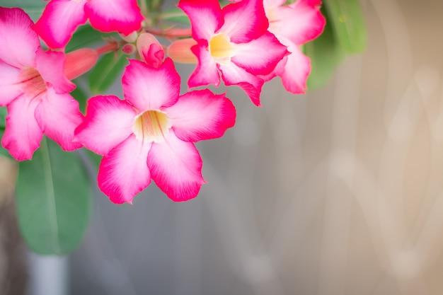 Розовая пустынная роза или лилия импала или фиктивный цветок азалии из тропического климата