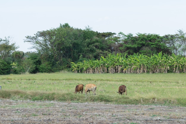 天気の良い日の緑の野原で農場で放牧牛
