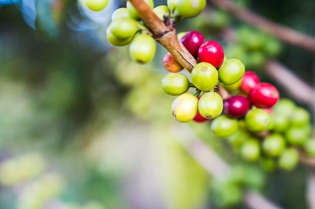生のコーヒー豆の枝を庭で閉じる