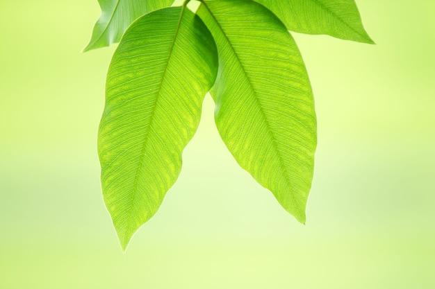新鮮な緑の葉を持つ夏の枝