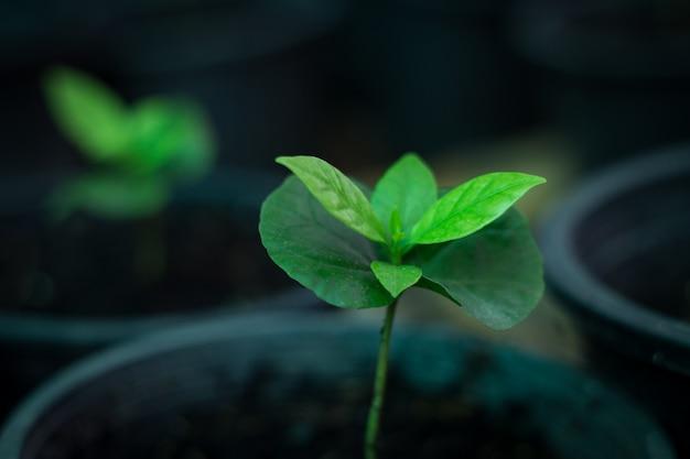 若いコーヒー植物