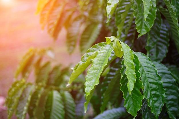 Кофейный лист робуста с каплями росы в кофейном саду