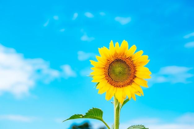 Красивый пейзаж с полем подсолнечника над пасмурным голубым небом и яркими солнечными огнями