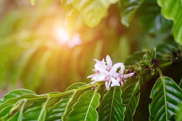 Цветение кофейного дерева с цветком белого цвета после дождей. робуста