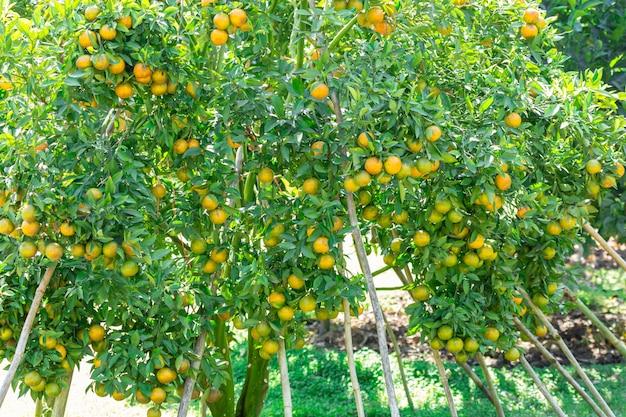 Оранжевый сад плантации