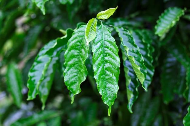 露を帯びたロブスタコーヒー葉のコーヒーガーデン