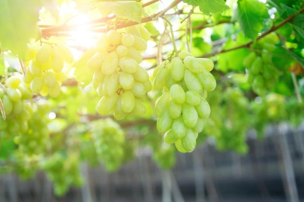 緑のブドウ、ブッチ、ダムヌンサドゥク、ラチャブリ県タイ