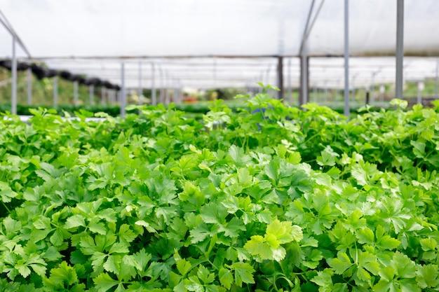 セロリ。土壌なしで、水中で、無機栄養素溶液を使用して成長する植物の水耕栽培法植栽ハンド水耕栽培植物農場