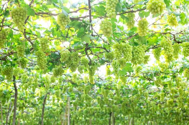 緑のブドウが茂み、ダムヌンサドゥク、ラチャブリ県にぶら下がっています。タイ
