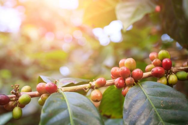 Кофейное дерево с кофейными зернами на плантации кафе