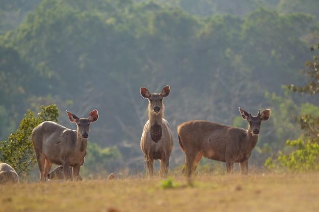 野生の鹿、プーケオ国立公園、チャイヤプームタイ