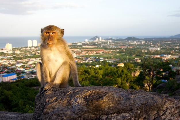 ホアヒンの猿