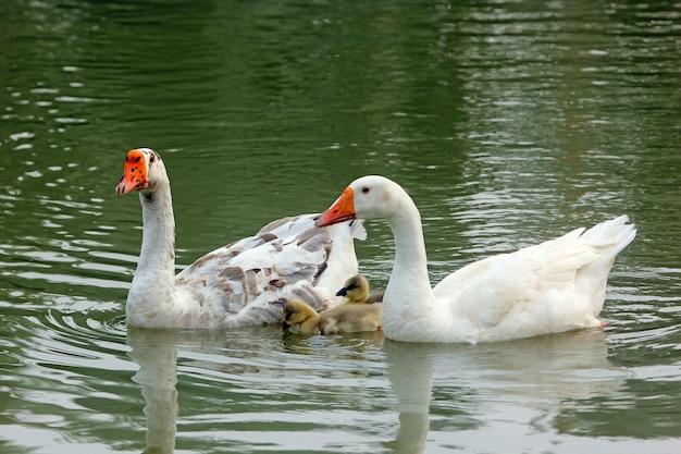 湖でアヒルの家族