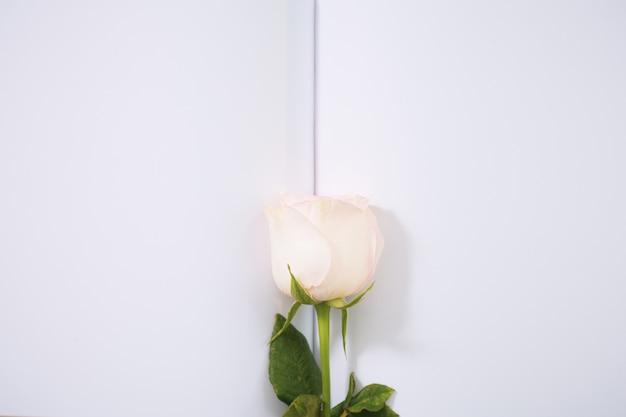 バレンタインデーの背景。紙の背景にピンクのバラ