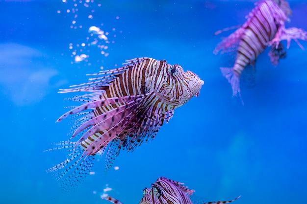 Красная крылатка - одна из опасных рыб кораллового рифа в океане таиланда