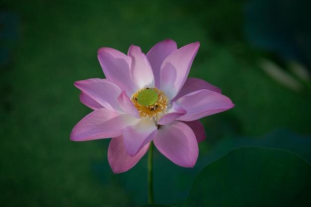 朝は美しいピンクのスイレンやハスの花
