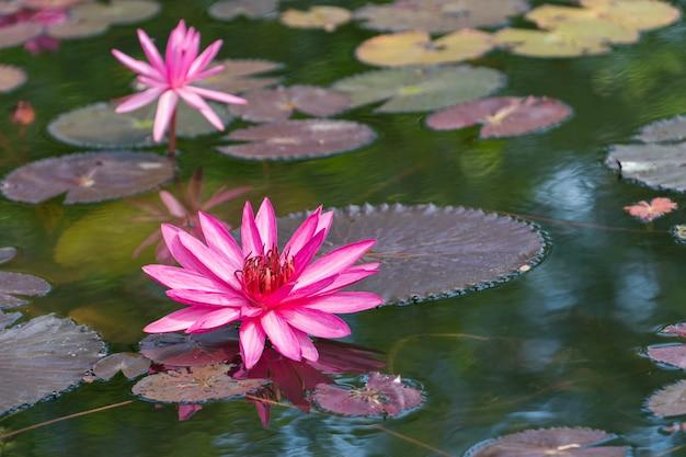 ピンクの水リリー、池の蓮。