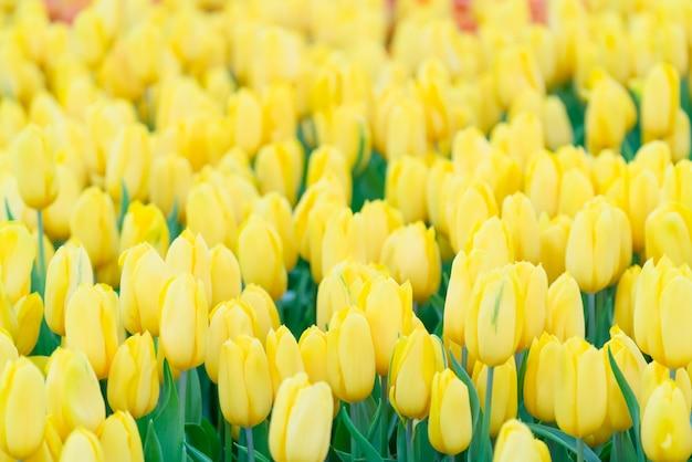 黄色いチューリップの美しい景色。チューリップの花の牧草地。チューリップガーデン