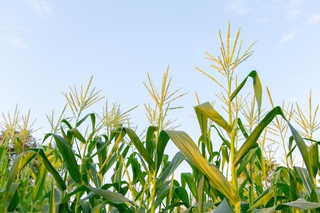 日没のトウモロコシ畑