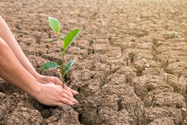 男性の手は、乾燥した場所に木を植えます。土壌は熱風で壊れます。