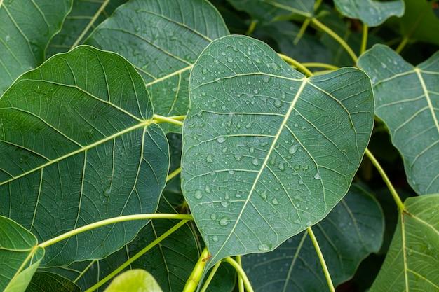 雨季には葉の上に雨が降る