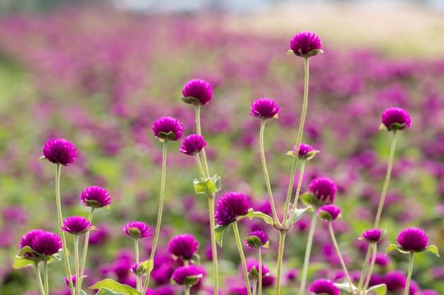 Фиолетовый глобус амарант