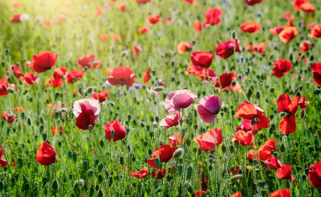 夏のソフトフォーカスアヘン用ケシ畑、夏または春の赤いケシの花の風景、記念日。