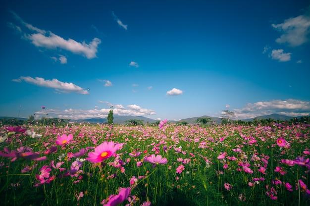 ピンクコスモスの花