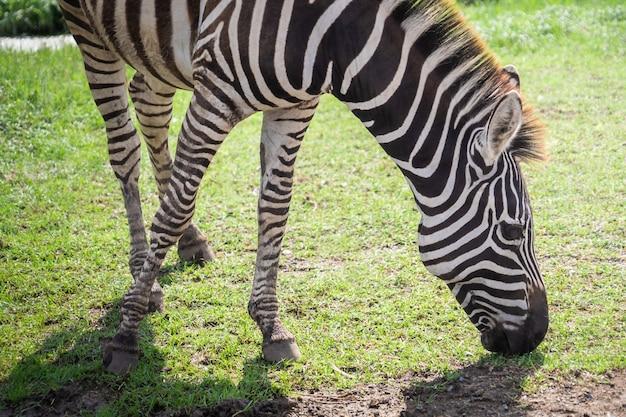 Голова зебры ест траву на земле
