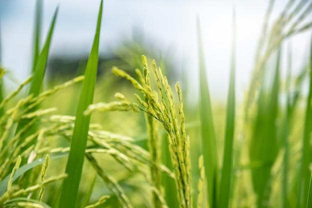Зеленое рисовое поле