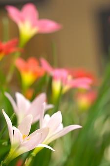 カラフルな花雨ユリが庭に咲いています。