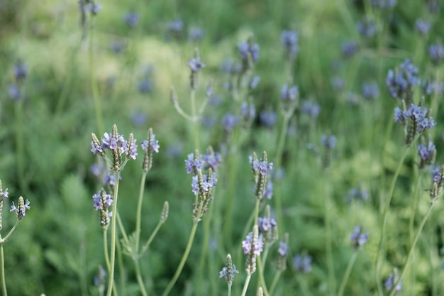 自然な日差しがある庭の花の中に紫のラベンダーを閉じます。