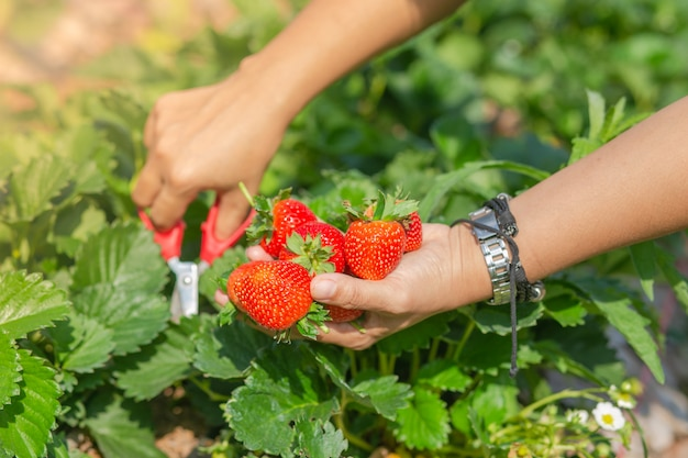 庭で新鮮なイチゴ。自然の背景のイチゴ