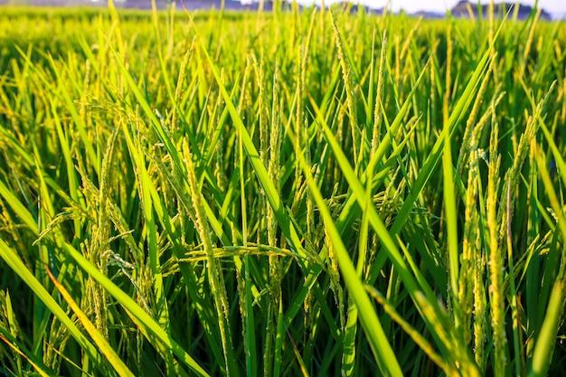 青い空、自然な背景を持つ緑の田んぼ。