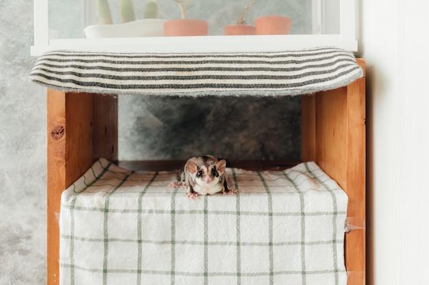 かわいい小さな好奇心シュガーグライダーは棚に隠れます。