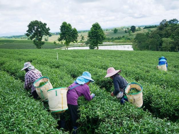 労働者は、タイのチェンライにある茶農場で労働争議の進行中にも茶を選ぶ。