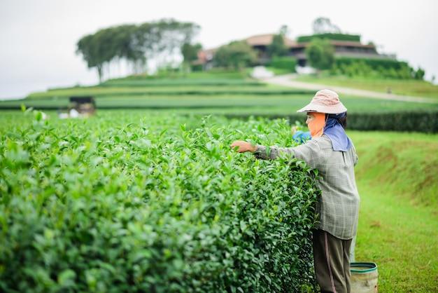 女性はタイのチェンライで労働行為が続いているにもかかわらず紅茶を選ぶ。