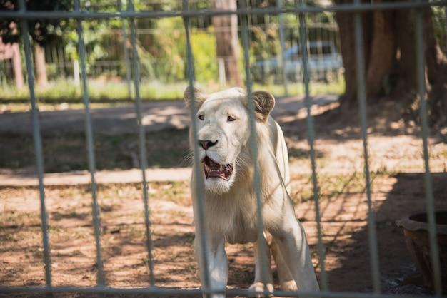動物園でホワイトタイガー