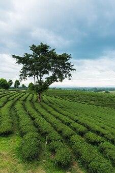 Зеленый чай фон на ферме зеленого чая