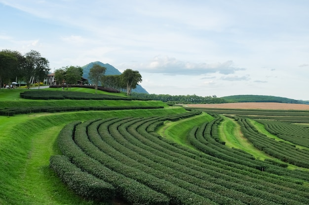 チェンライの緑茶農場