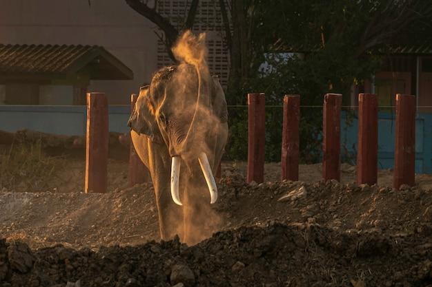 アジアの象が散りばめられた状態で塵を吹き付ける象。